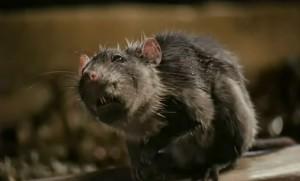 Charlotte's Web Templeton Rat